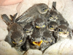 baby birds at WRR
