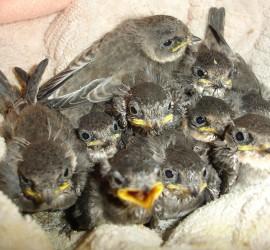 baby-birds01