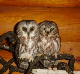 baby-owls
