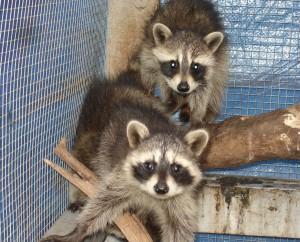 baby-raccoons