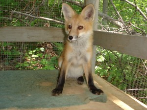 Wildlife Rehabilitation & Release - baby fox